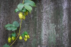 Hop branch royalty free stock image