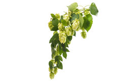 Hop branch with cones Royalty Free Stock Photo