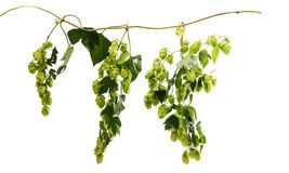Hop branch with cones Stock Image