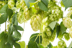 Hop branch with cones Stock Photo