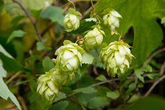 Hop branch Royalty Free Stock Images