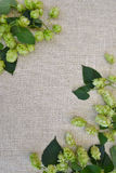 Hop. Branches hop with leaves . Fresh green hops with cones .  Beer production ingredient. Brewing Royalty Free Stock Photography