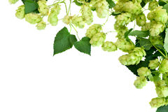 Hop;. Branches of hop leaves, isolated on white background without shadows. Fresh green hops cones. Beer production ingredient. Brewing Stock Images