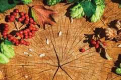 Hop branches and viburnum on cracked wood. Fresh green hop branch, brown dry hop and viburnum on cracked wooden background. Beer ingredient. Autumn colours Stock Photography