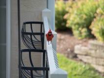 Hop cardinal Fotos de Stock