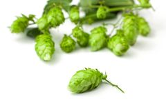 Hop Close-up Stock Images