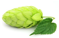 Hop close up Royalty Free Stock Photography