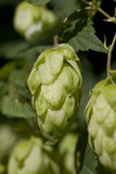 Hop cone. S with green leaves Royalty Free Stock Image