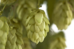 A Hop Cone Stock Photography