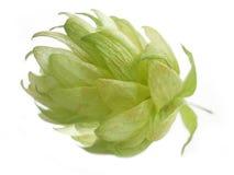 Hop cone Stock Image