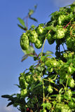 Hop cone. S with green leaves Stock Image