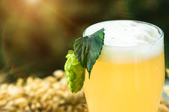Hop cone on a glass of light unfiltered beer Royalty Free Stock Photography
