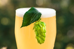 Hop cone on a glass of light unfiltered beer Stock Photos