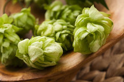 Hop cone and leaves Stock Images