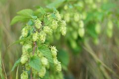 Hop with cone, leaves with grains on wooden. Malt maturation process. Agriculture Royalty Free Stock Photos