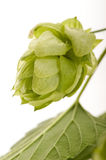Hop cone and leaves Royalty Free Stock Image