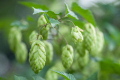 Hop Stock Photos