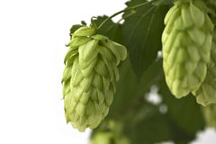 A Hop Cone on the White Background Royalty Free Stock Images