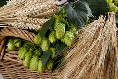 Hop cones. With wheat and barley Royalty Free Stock Images