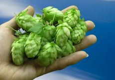Hop-cones Royalty Free Stock Photography