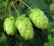 Hop-cones. A detail of hop-cones before harvest Royalty Free Stock Images