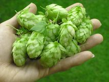 Hop-cones Stock Photos