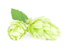 Hop cones. Isolated on white background Stock Photo