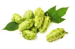 Hop cones stock photos