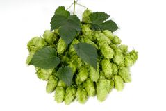 Hop cones. A sprig with hop cones and leaves Stock Images