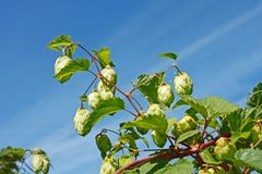 Hop cones against the blue sky Stock Image