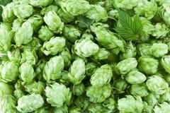 Hop cones. Stock Image