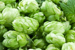 Hop cones. Stock Images
