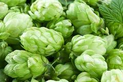 Hop cones. Stock Images