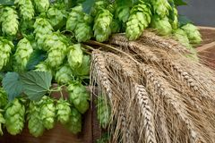 hop cones barley and wheat Stock Images