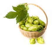 Hop cones in a basket Stock Photos