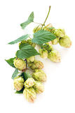 Hop cones. Stock Photography