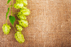 Hop cones on burlap close up. Ingredients for beer production royalty free stock photography