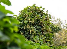 Hop cones on a bush, dark green blur natural background, selective soft focus royalty free stock photos