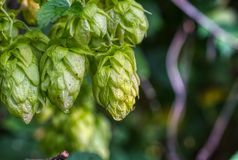 Hop cones, close-up shot. Agricultural plant, natural natural preservative. Hop cones, close-up shot. Agricultural plant, natural natural preservative royalty free stock image