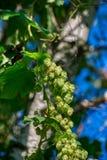Hop cones, close-up shot. Agricultural plant, natural natural preservative.  stock photography