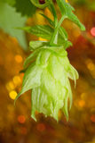Hop cones closeup Stock Photography