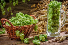 Hop cones collected in a wicker basket. On old wooden background Royalty Free Stock Photo