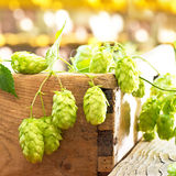 Hop cones in the farm. Still life with hop cones in the farm Stock Images