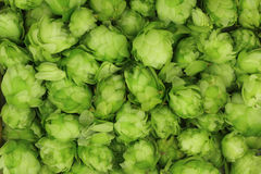 Hop cones green  background Stock Photo