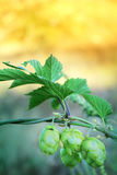 Hop cones with green leaves border on nature background.  Royalty Free Stock Images