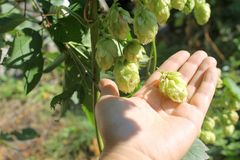 Hop cones in hand Stock Image
