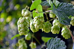 Hop cones hanging in late summer sun stock photos
