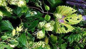 Hop cones in an herbal garden. In Germany stock video