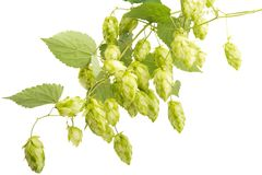 hop cones isolated royalty free stock photography