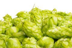 hop cones isolated royalty free stock photo